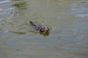 Dusty taking a Swim