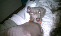 Should you sleep with your Weim? | Owyheestar Weimaraner's News