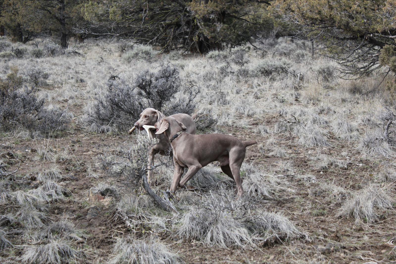 Shed Hunting Weims Owyheestar Weimaraner S News