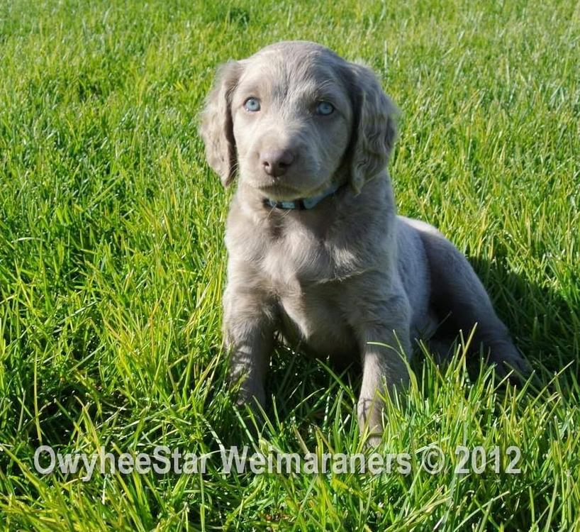 Golden Retriever Weimaraner Mix Of the longhair weimaraner