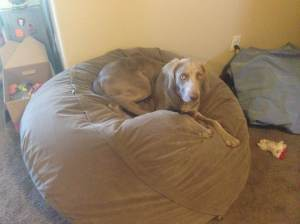 "Charlie on the Bean Bag chair.. this is now her upstairs dog bed.. much more cushion than the ""normal"" dog bed..."