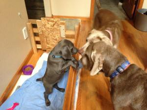 """Murphy saying hello to his Big Sister and Big Brother from the kitchen """"Puppy Pen"""""""