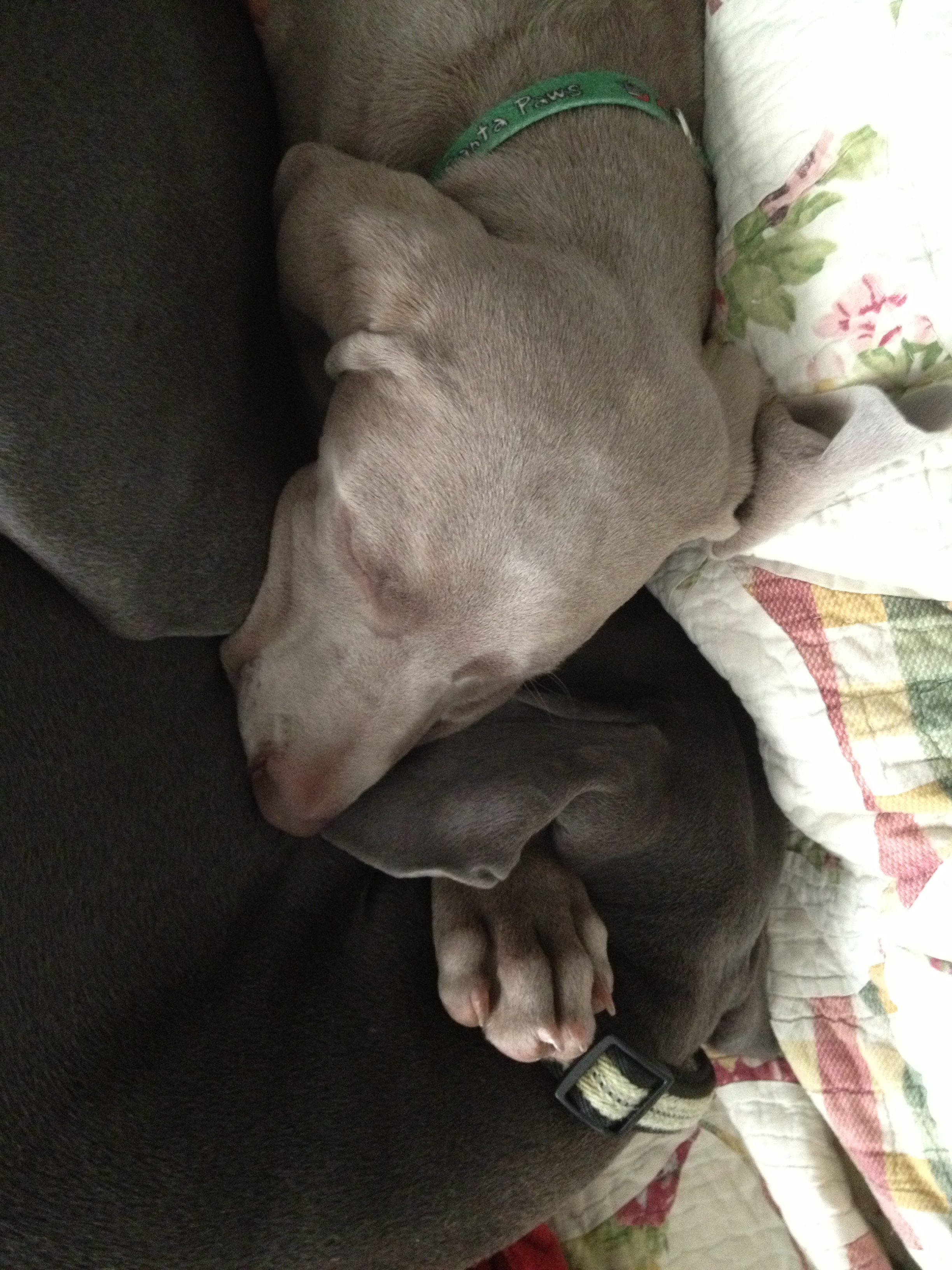 Opus the nose-warming Weim, and Winchester