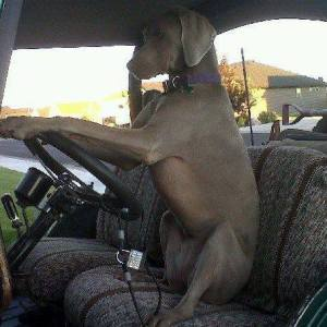 Every Weim's Drive--To be in the driver's seat