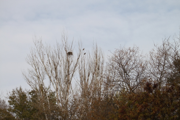 A Nesting Redtail hawk Pair on the farm November 13 2011