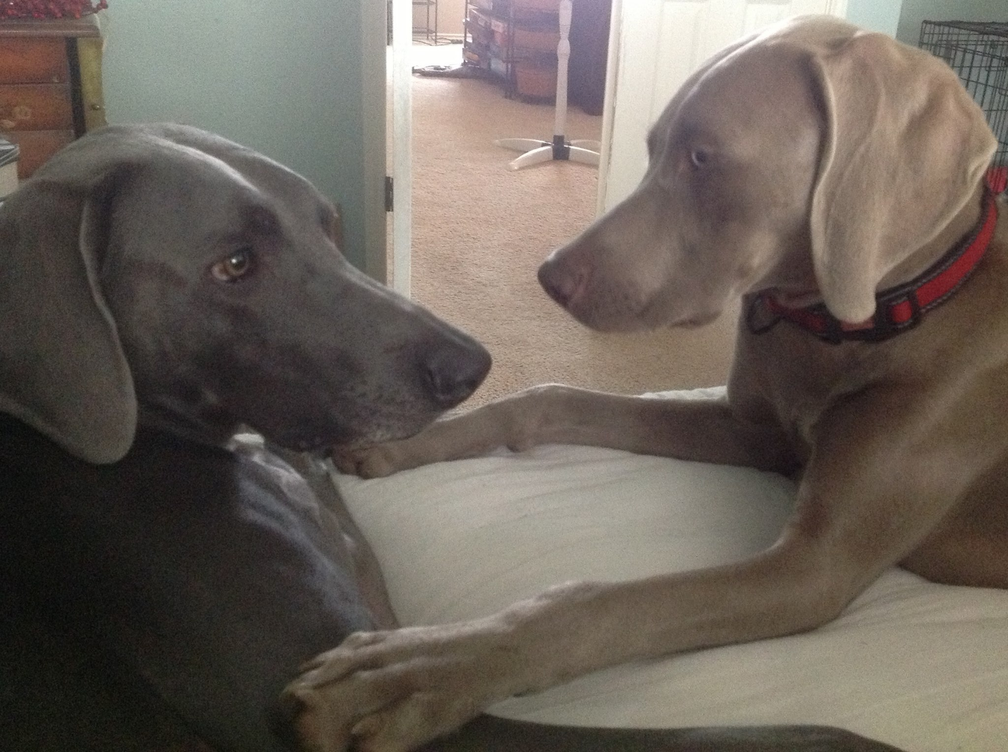 Our Two Weim-family