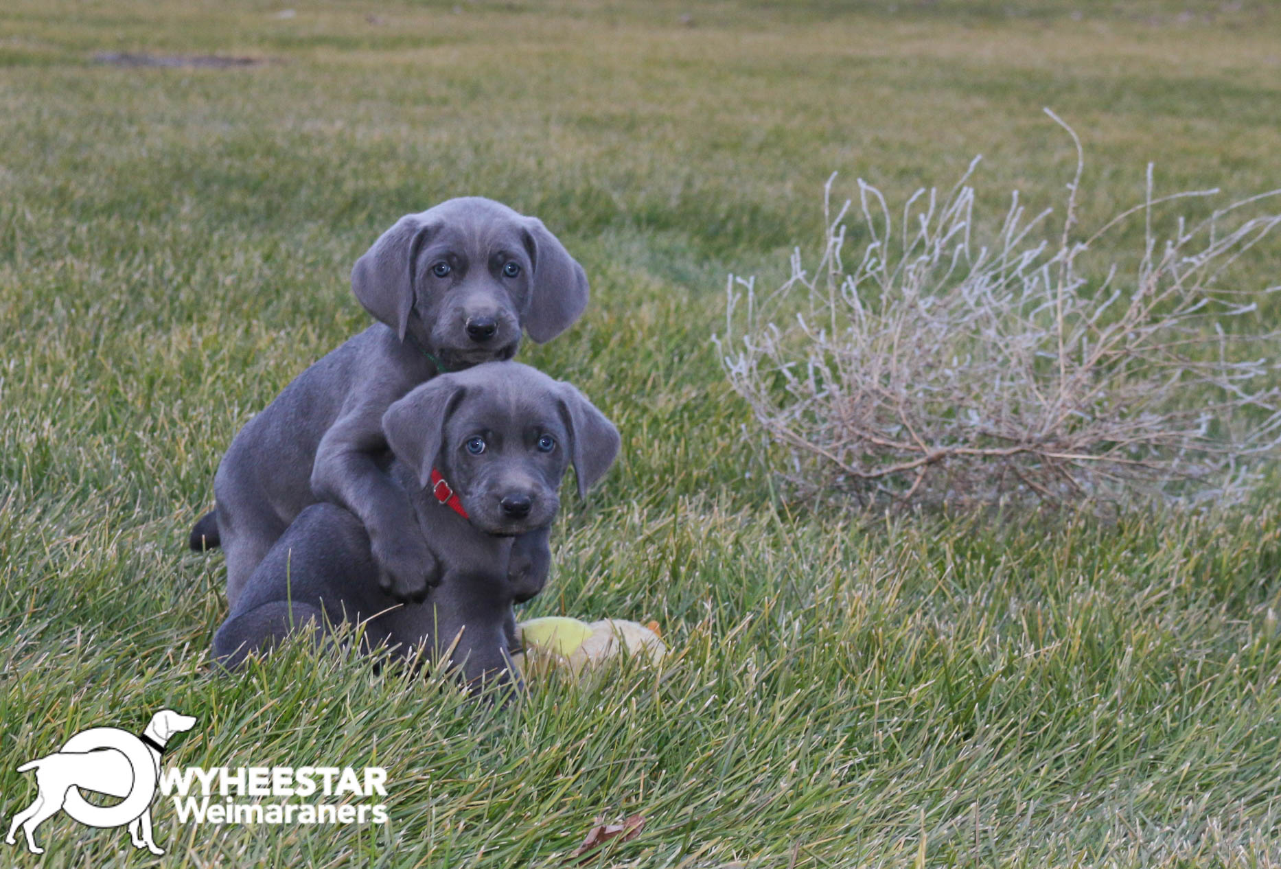 Holistic For The Weimaraner Owyheestar Weimaraners News