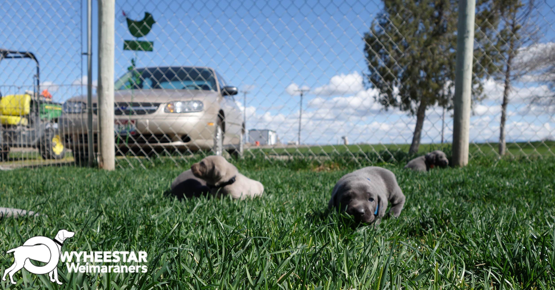 Sage X Blue Yard Babies