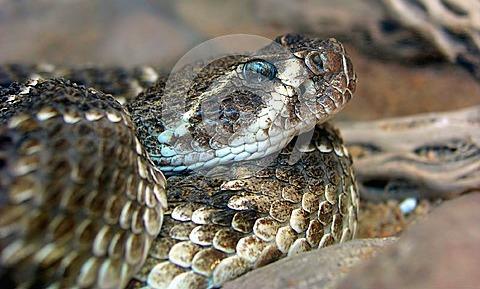Western-Rattlesnake-thumb2698850