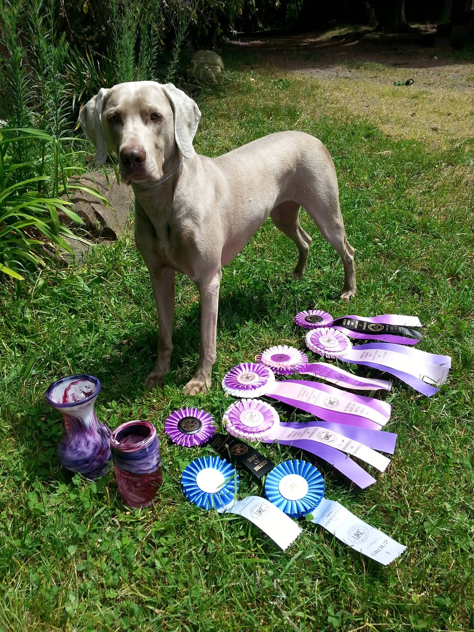 May 31, 2015 -- UKC Best-In-Show and High-In-Trial Champion Sunstar Willow of OwyheeStar, CGC, UROI, TDI