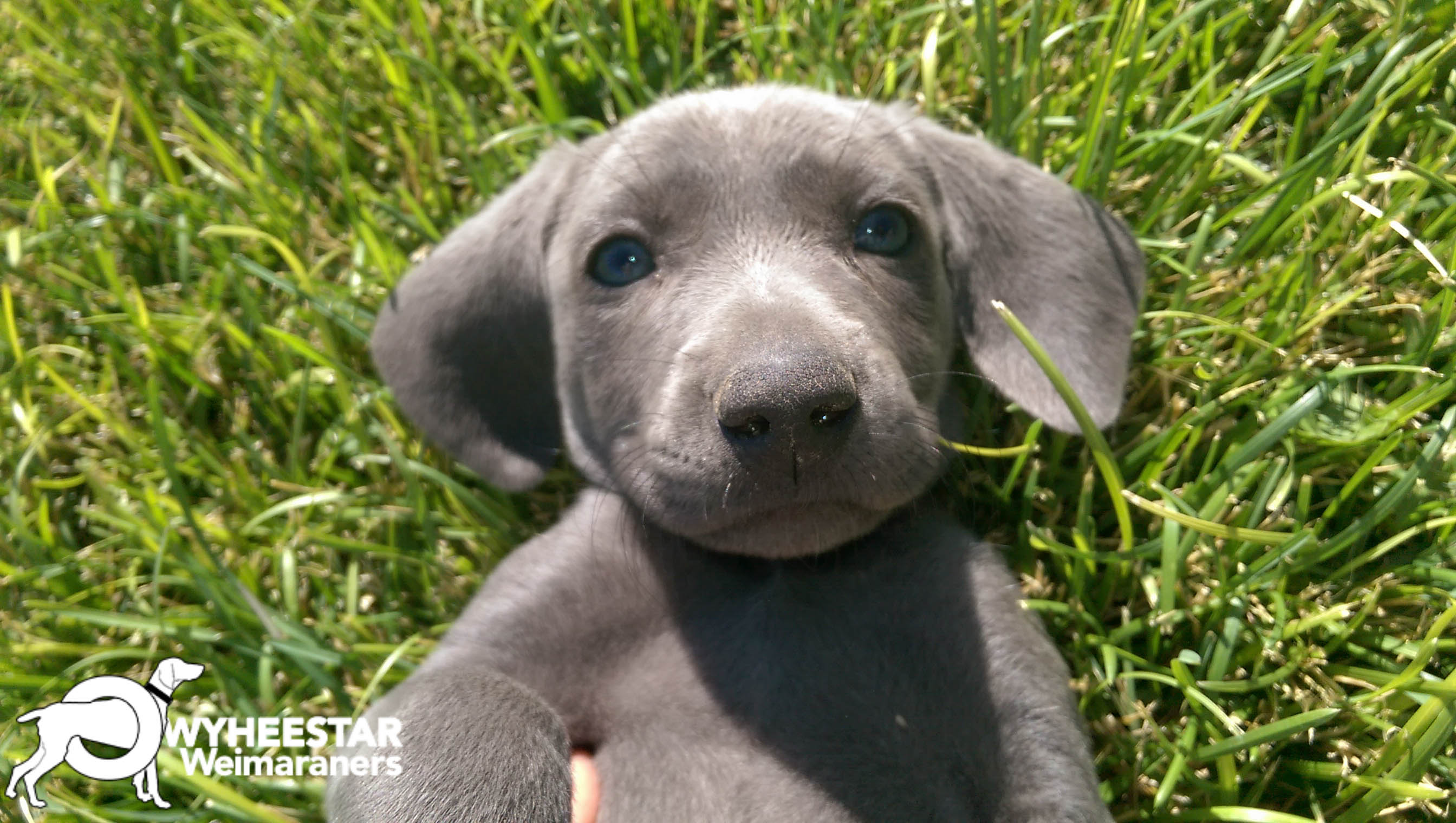 Price And Faqs Owyheestar Weimaraner S News