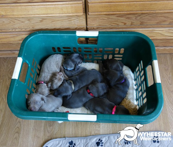 Basket of Pups @ 3 Weeks-2