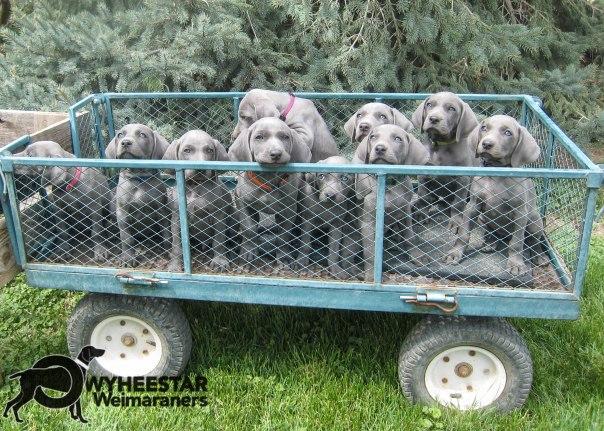WM.Ten Blue Weimaraner Pups in a Wagon!-2