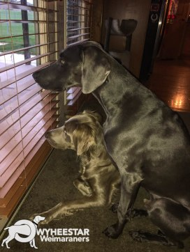 Spight's Birdwatching Weims