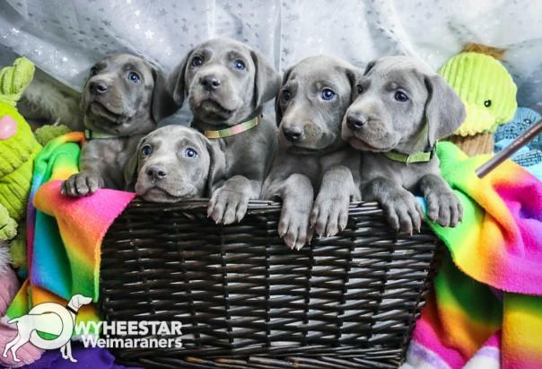 5 Blue Males-Zula Blue X Blue 2016 Week 5-26