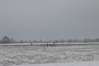e-geese-departing-_0064