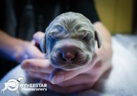 very-young-pups-from-owyheestar-archives-3
