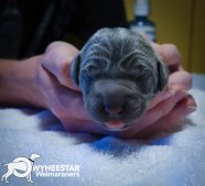 very-young-pups-from-owyheestar-archives-b-2