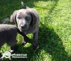 Longhair Web Pup Photos-15