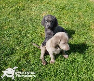 Longhair Web Pup Photos-17