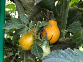 Pear tomatoes_1161