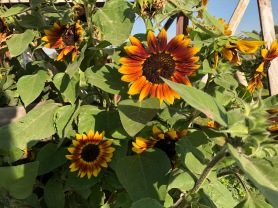 Sunflowers_1083